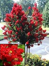 35+ RED CRAPE MYRTLE TREE /SHRUB /FLOWER SEEDS / DROUGHT TOLERANT PERENNIAL