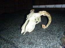 sheep skull, taxidermy,  pagan,witches, Swaledale sheep skull,  bones, horns.A.