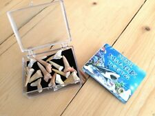 MOROCCAN FOSSIL SHARKS TEETH, GIFT BOX, INFORMATION CARD