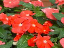 Vinca Seeds 50 Seeds Vinca Sunsplash Papaya
