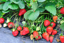 50 TRISTAR EVER BEARING STRAWBERRY PLANTS- Great for Hanging Baskets/Containers