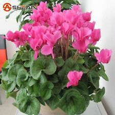 Pink Cyclamen Flowering Seeds Perennial Plants cyclamen DIY Home Garden 100PCS