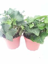 """Two Baltic English Ivy Plant Hardy Groundcover 4"""" Pot/ From Jmbamboo"""