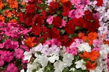 Impatiens Advantage Mix Seeds Indoor Outdoor Bright Colours Large Flower Compact