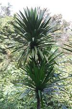 Dracaena cochinchinensis - The Thai Dragon Tree - 10 Fresh Seeds