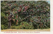 Pre Linen PC A California Rose Bush. Major Rust's Rose Drive, Pasadena, Ca.1907