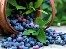Bilberry Forest seeds Черника Ukraine Vaccinium 30 seeds blueberry whortleberry