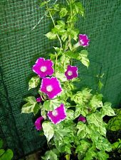 RARE 5 graines IPOMOEA NIL MINIBAR ROSE H354 VARIEGATED MORNING GLORY SEEDS SEMI