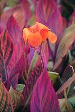 "Most Beautiful Foilage Canna Lily, ""Phasion"" (1) Nice Sized Root, Plant, Rhizome"