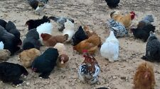 Bantam Cochin Hatching 20 + Eggs smooth & Frizzle in a sea of mixed Colors