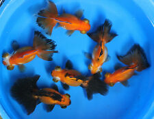 Live Red Black Butterfly Tail Goldfish Med. for fish tank, koi pond or aquarium
