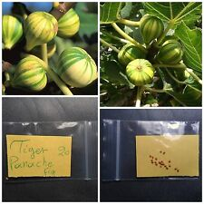 Tiger Panache Fig Tree Seeds ~20 Top Quality Seeds - Striped - Unique Flavor