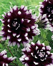New Decorative Dahlia 'Mystery Day' W.P.C. Prins Flowering Bulbs & Tubers