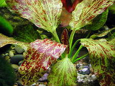 Live Aquarium Plants - Echinodorus Red Flame - Rare Amazon Sword Plants