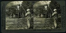 1920s APPLE ORCHARD WORKER SPRAYING TREES~HILTON,NEW YORK~REAL PHOTO STEREOVIEW