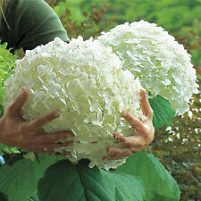 10Pcs Perennial Seeds Beautiful Family Yard Garden White Hydrangea Flower Seeds