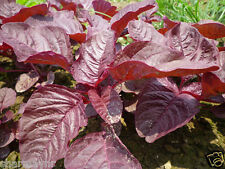 RED SPINACH (VEGETABLE SEEDS)