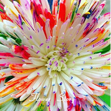 50 Water Color Daisy Seeds Lovely rainbow flower seeds