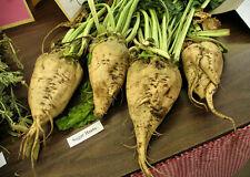 beet, SUGAR BEET, MAKE YOUR OWN SUGAR, 500 seeds GroCo#