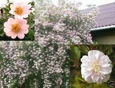 Für Garten & Balkon : 2 Sorten Winterharte Wildrosen / Stecklinge & Wurzelpulver