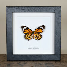 Common Tiger Butterfly in Box Frame (Danaus genutia)