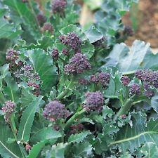 RE semi-Broccoli-viola germinazione precoce - 750 Semi