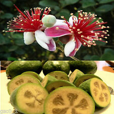 Feijoa sellowiana, Acca Pineapple Guava Goyave Ananas Guave Guayabo, 20 seeds