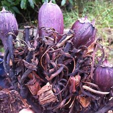 Doryanthes excelsa SEEDS 200 gymea lilly AUSTRALIAN NSW NATIVE Jan 2016