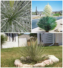 50 seeds of Yucca elata, succulents,cacti, succulents seed R
