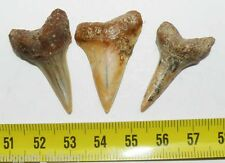 3 dents de requin Isurus hastalis  ( 056 )