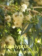 ***Eukalyptus Öl, Eucalyptus (Eucalyptus globulus L.) 100ml, Sauna.....Topp!!