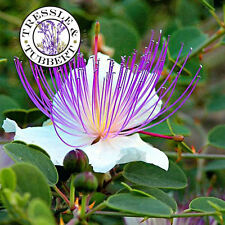 RARE capperi, CAPPARIS SPINOSA - 10 Semi-UK Venditore