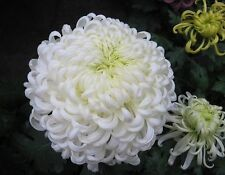 Snow Chrysanthemum seed  courtyard plant balcony decoration 30 seeds NO.10