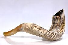 "Ram SHOFAR Horn Kosher Natural 11""-13"" Judaica"