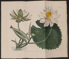 Curtis - Egyptian Water-Lily or Lotus. 797 - 1787-1800s The Botanical Magazine