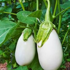 """100 White Eggplant Seeds - """" Casper """" From France, Heavy yields of 5-6"""" Fruits."""