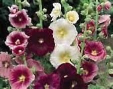 Hollyhock Indian Spring Mix- 50 Seeds - 50 % off sale