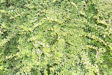 5 x Lonicera Nitada plants, evergreen, robust and fast growing shrubs,,,6-8cm