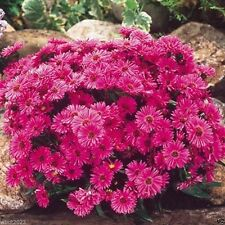 Aster Seeds - Pink (Aster Alpinus ) - Easy-to-grow ! PERENNIAL ,100 SEEDS
