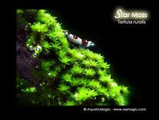 Star Moss-Live fish tank aquarium plant fern java M9