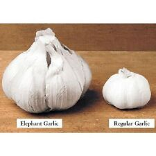 Huge! Elephant Garlic ~ Huge!! 3 Cloves~~ Easy to Grow ~~ Allium Ampeloprasum