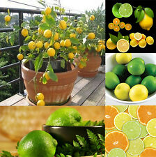 10Pcs Lemon Tree Seeds Available Indoor Outdoor Garden Heirloom Fruit Plant HK30