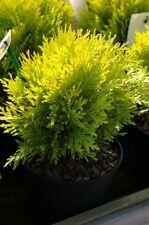 Thuja occidentalis Amber Glow 20-25, gelber Lebensbaum, gelblich-bronzefarben