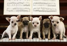 5 Chihuahua puppies on the Keys of a Piano  Poster Print Art