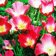 California Poppy Seed 50 Seeds Eschscholtzia Californica Flower Garden Seed A120