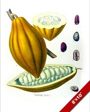 COCAO BEAN POD CHOCOLATE SEED PLANT ILLUSTRATION PAINTING ART REAL CANVAS PRINT