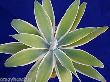 "Agave attenuata Variegated ""Ray of Light"" Soft Spineless Leaves 16"" & 8"" PUP B7"