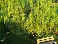 50 WEEPING WILLOW TREE fresh cuttings. 12 inches long. Free Shipping