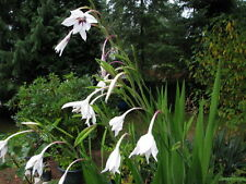 40 PEACOCK ORCHID SEEDS - Gladiolus acidanthera