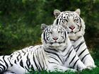 "White Tigers Big Photo Picture Print A3+ 19x13"" Poster Canvas Textured Art Paper"